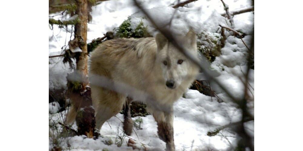 Insolite | Une louve tuée par un train dans les Grisons