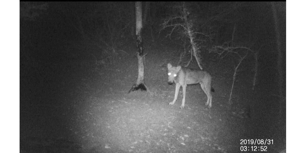 Valence | Des chasseurs ont vu deux jeunes loups à Montboucher-sur-Jabron