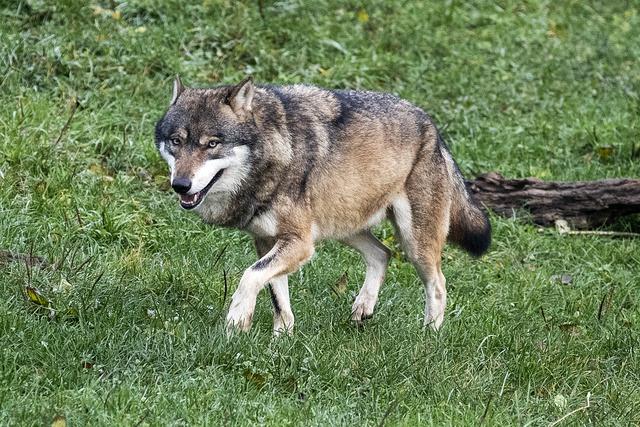 Confédération: L'administration veut mieux protéger les loups – Suisse – 24heures.ch