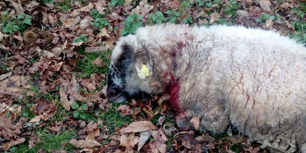 Bruges (64): trois brebis mortes, deux blessées, le loup hybride accusé – Sud Ouest.fr