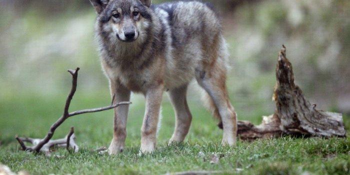 Aisne : des «loups hybrides» rôdent-ils dans le département ?