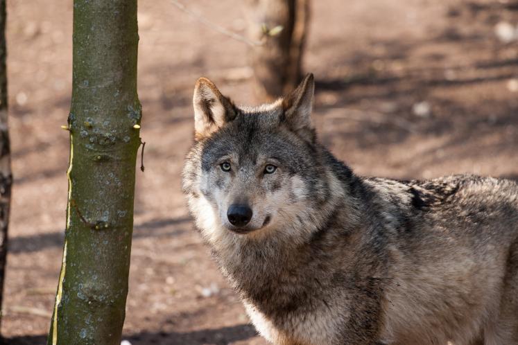 En 2019, le nombre de brebis victimes du loup en légère hausse en France   Portail Réussir