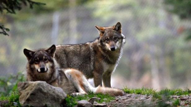 En France, le loup est parti à la conquête de nouveaux territoires