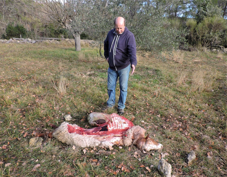 Pour la première fois dans ce village du Var, le loup a tué deux béliers – Var-Matin