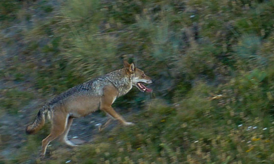 Société | D'où vient la peur du loup ? | La Provence