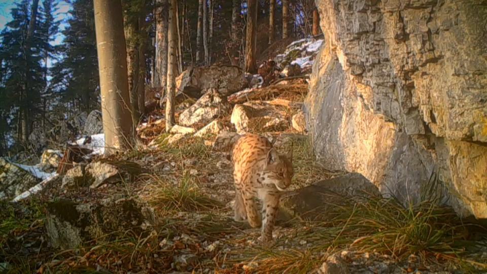 Loups, lynx et ours : l'enjeu de la préservation et de la coexistence avec les hommes | Euronews
