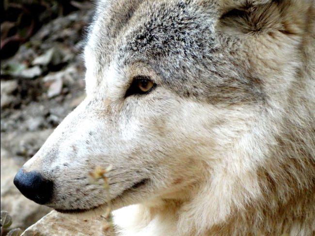 Le loup de l'Himalaya, une espèce distincte génétiquement adaptée à la vie en altitude ? – Geo.fr