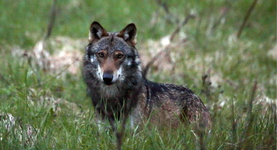 Les députés valaisans veulent un système d'alerte contre le loup – Le Temps