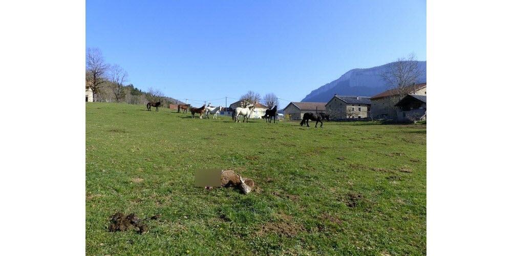 Faits-divers – Justice | Saint-Martin-en-Vercors : un faon tué par les loups à 50 mètres des habitations