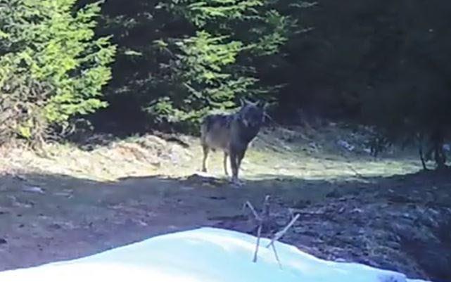 Environnement | Haute-Savoie : l'apparition du loup ne fait pas l'unanimité chez les maires