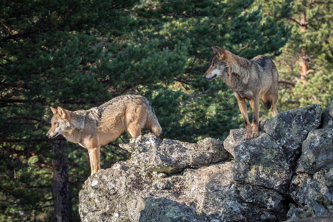 Drôme : un loup tue 4 chèvres naines devant une maison – Chasse Passion