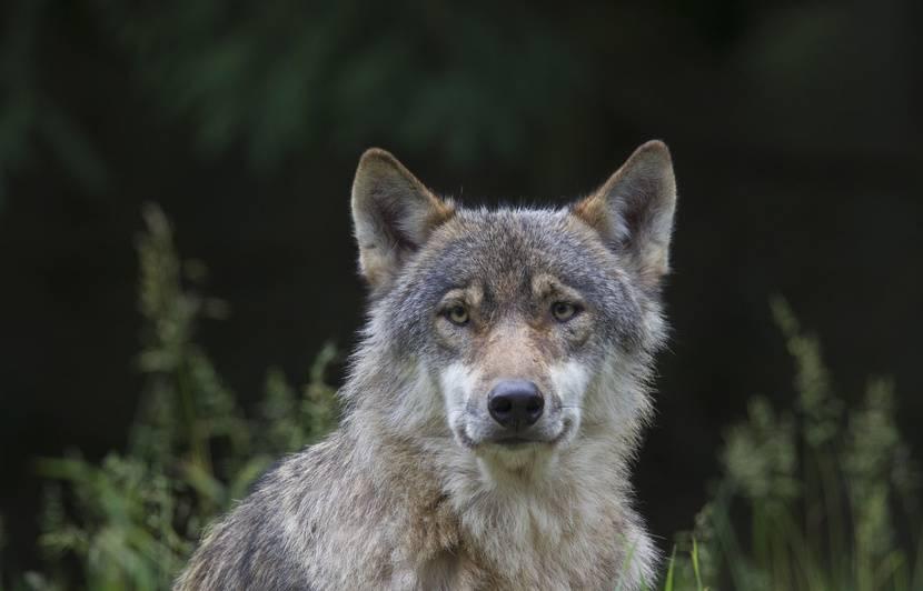 Seine-Maritime : Le loup suspecté d'avoir mené trois attaques sur des troupeaux de brebis