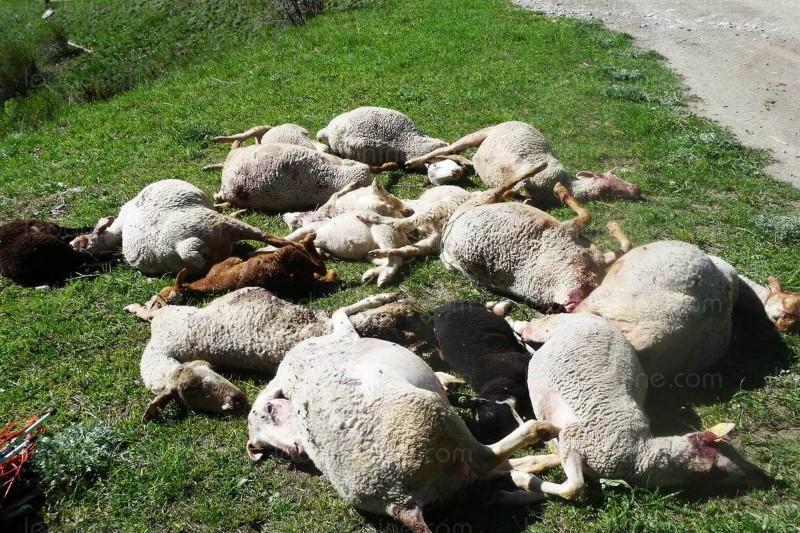 une-vingtaine-de-brebis-et-d-agneaux-ont-ete-partiellement-devores-ces-derniers-jours-dans-les-queyras-par-un-predateur-un-tir-de-defense-pourrait-etre-autorise