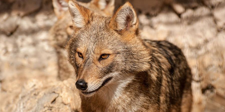Isère / Drôme : le canidé fugueur de Lus la Croix Haute était un loup doré africain | D!CI TV & Radio