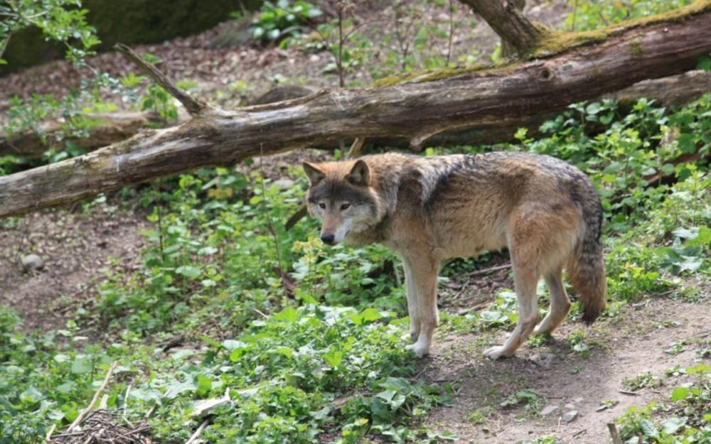 C'est officiel, il y 500 loups en France, un chiffre en nette progression – Le Parisien