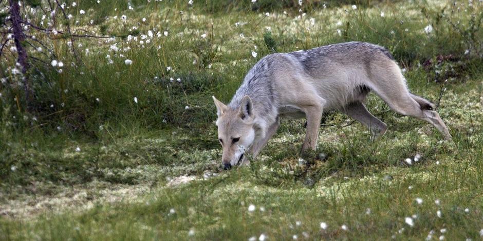 Un nouveau loup identifié dans les Hautes Fagnes – La DH