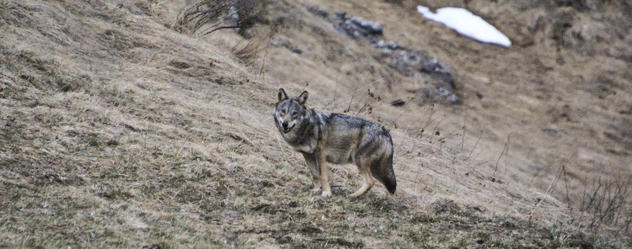La Suisse abrite toujours plus de loups – Le Temps