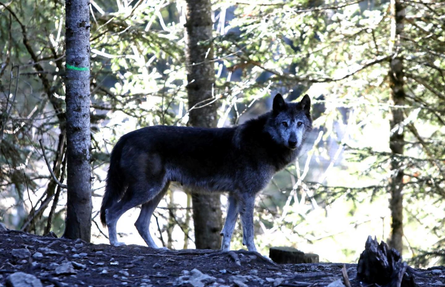 Une nouvelle attaque de loup dans le haut-pays – Nice-Matin