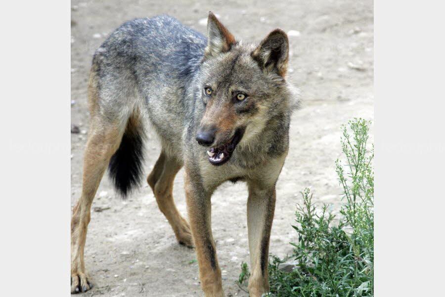 Drôme | Cobonne : un troupeau attaqué par le loup deux fois dans la même journée