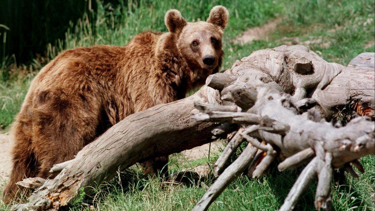 Pyrénées : menacés, les agents de l'ONCFS ne réalisent plus de constats de dégâts liés aux ours – France 3 Occitanie