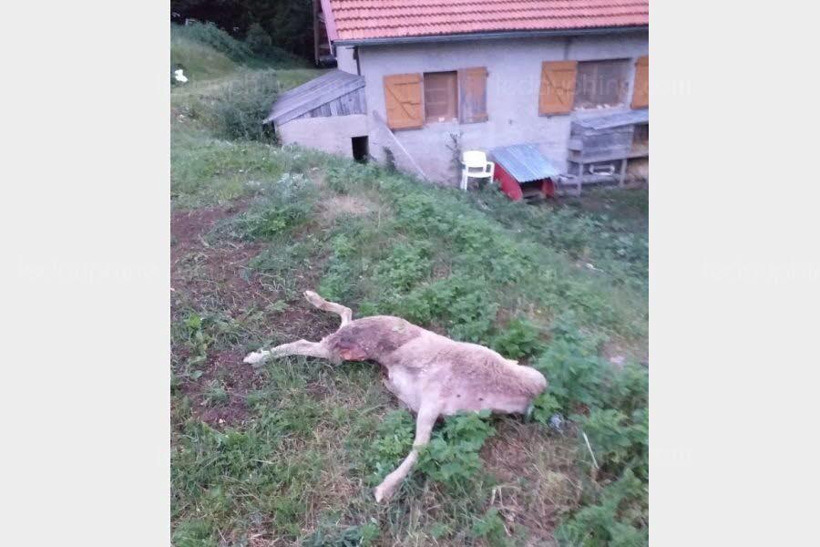 Valdrôme   Valdrôme : un troupeau de brebis attaqué par des loups