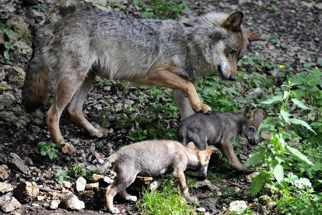 Suisse: Nouvelle meute de loups découverte aux Grisons – News Loisirs: Animaux – lematin.ch