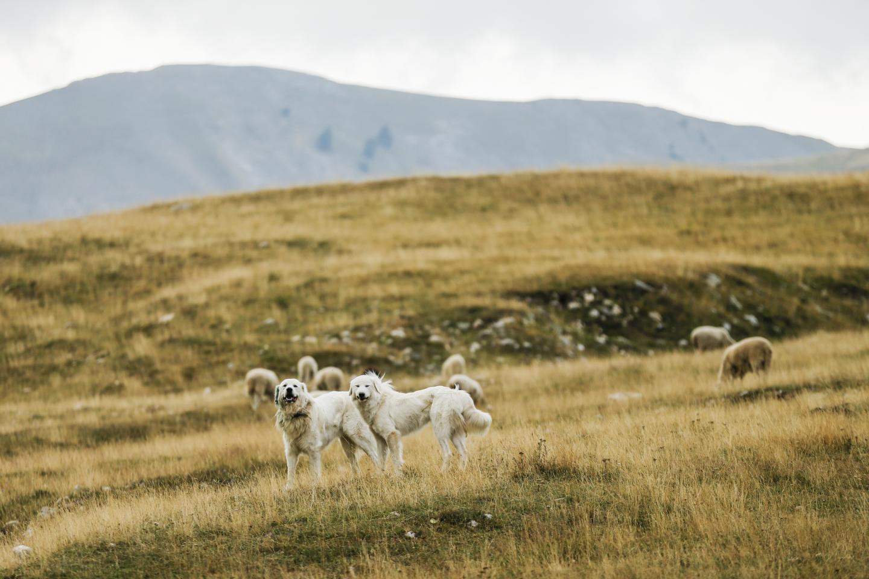 Vous ne savez pas tout sur les chiens de protection – Nice-Matin