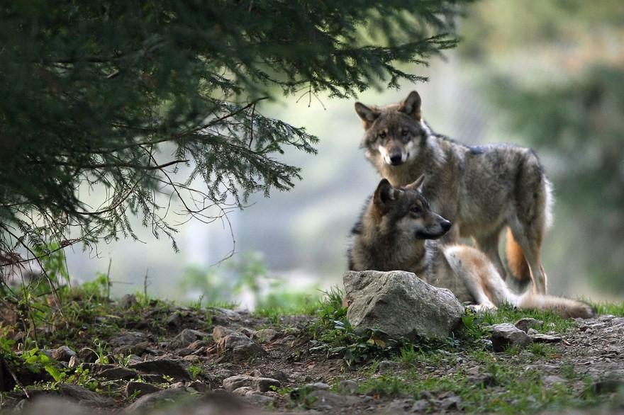 Biodiversité : la hausse du nombre de loups pouvant être abattus fait débat