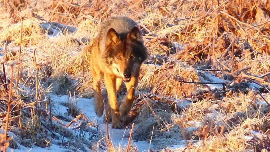 Des carcasses d'agneaux égorgés retrouvées à Jalhay: on suspecte le loup d'avoir fait le coup