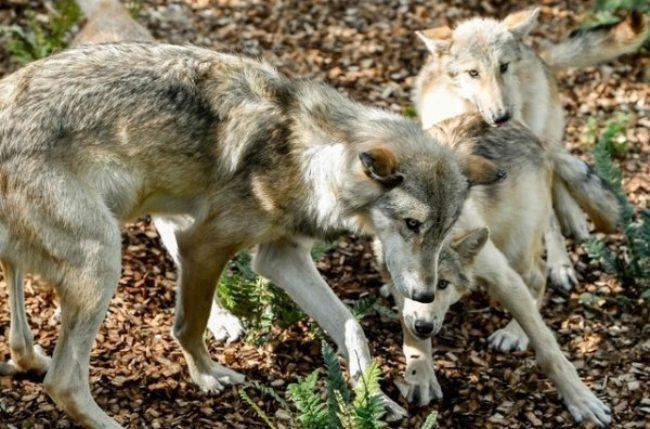 Après la découverte de meutes dans le Bas-Valais et le Jura vaudois, quel est le coût du loup? – Bilan