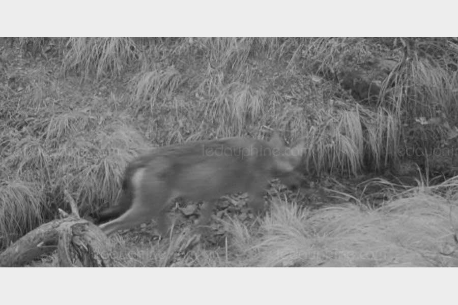 L'Epine   Hautes-Alpes : un troupeau attaqué, le loup flashé !