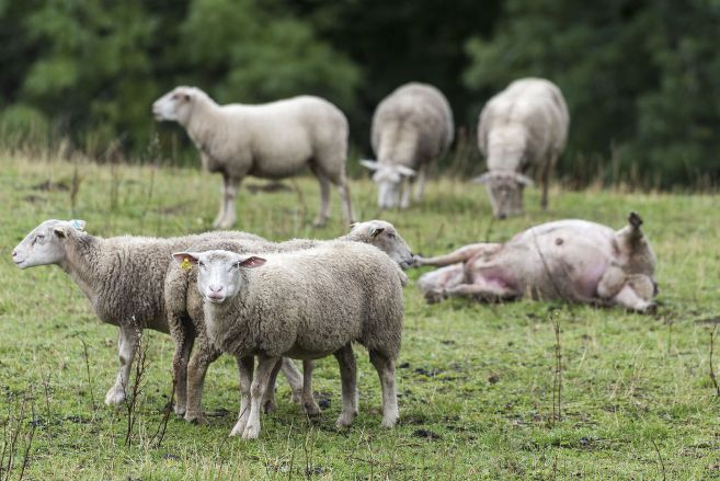 Le loup a-t-il attaqué un troupeau de brebis à Neussargues-en-Pinatelle (Cantal) ? – Neussargues en Pinatelle (15170) – La Montagne