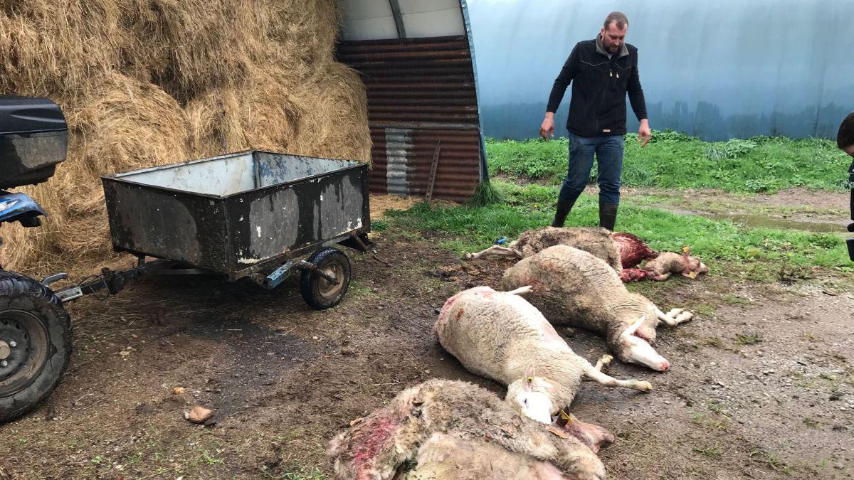 Les éleveurs du Cantal face au loup – France 3 Auvergne-Rhône-Alpes