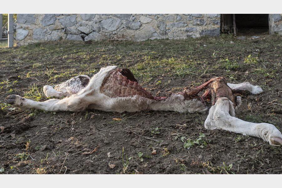 Chorges   Chorges : un veau dévoré, la faute au loup?
