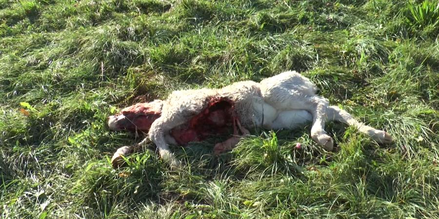 Hautes-Alpes / loup : un veau et 18 brebis tués à Montgardin et la bâtie Neuve   D!CI TV & Radio