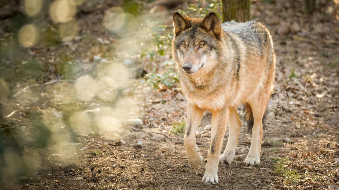 La dépouille d'un loup découverte en Haute-Marne?