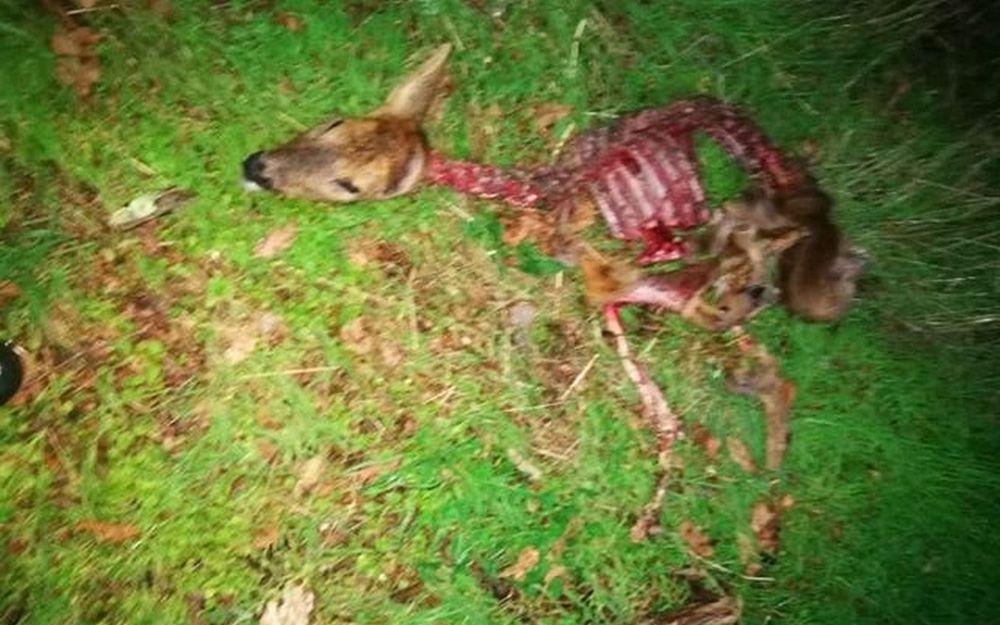 Un chevreuil attaqué à Abzac, le spectre du loup brandi – Charente Libre.fr