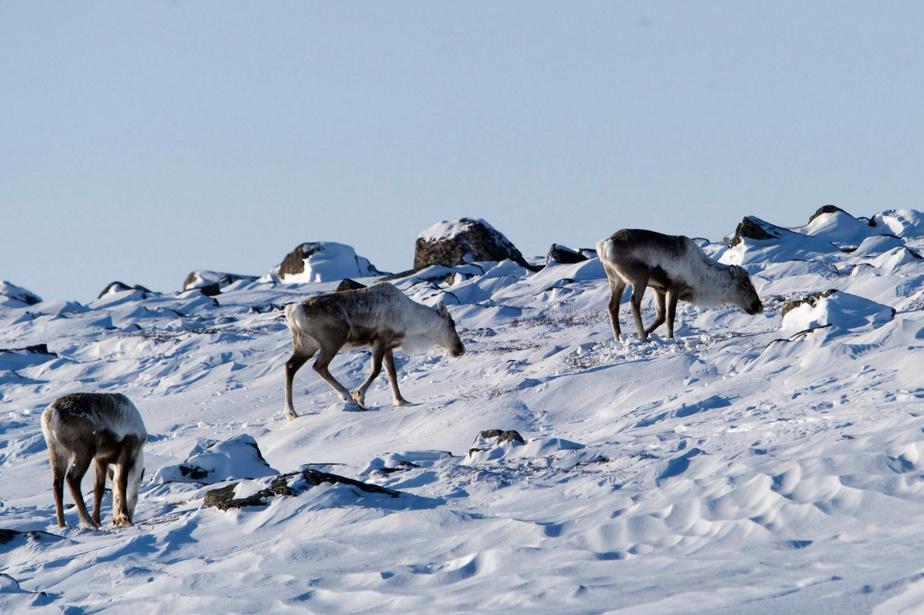 Disparition du caribou : les loups dans labergerie