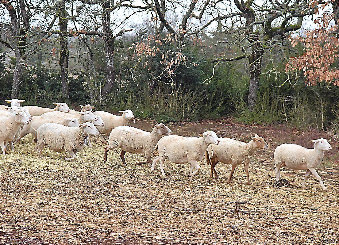 Sud-Aveyron : les attaques de loups baissent mais les éleveurs luttent toujours – midilibre.fr