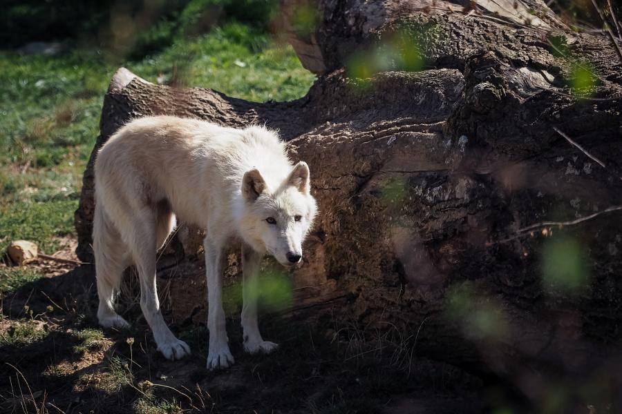 Belgique: un loup soupçonné d'avoir mangé un kangourou domestique
