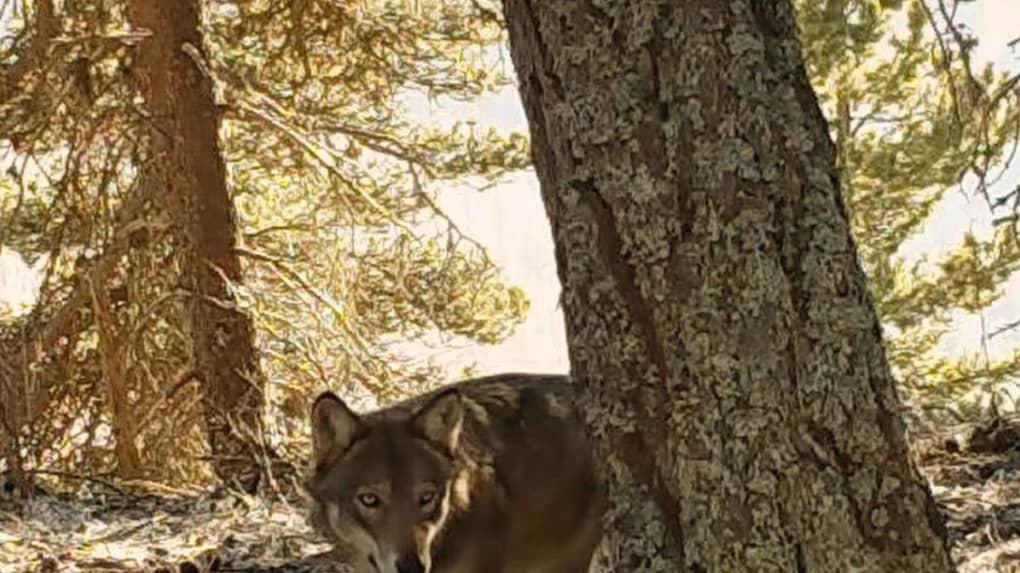 EELV soutient le loup et J.-M. Bertrand