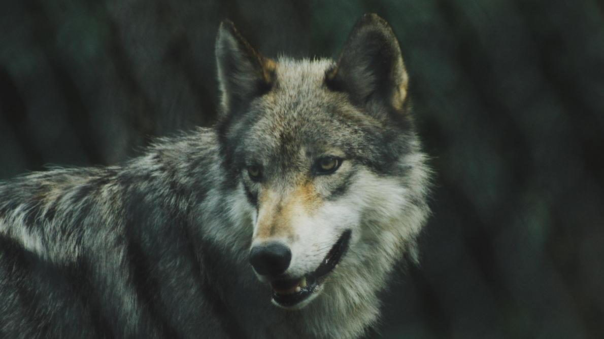 En Flandre, les deux loups se sont trouvés et pourraient s'accoupler (vidéo) – Le Soir