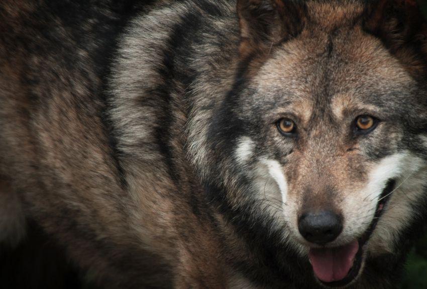 Faits divers – Justice | Une attaque de loup à Berre-l'Étang | La Provence