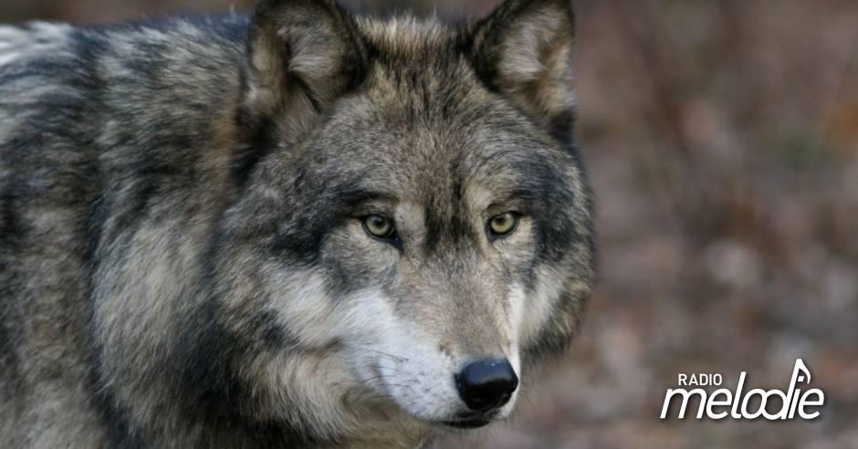 Un loup aperçu à la frontière du Pays de Bitche – Radio Mélodie