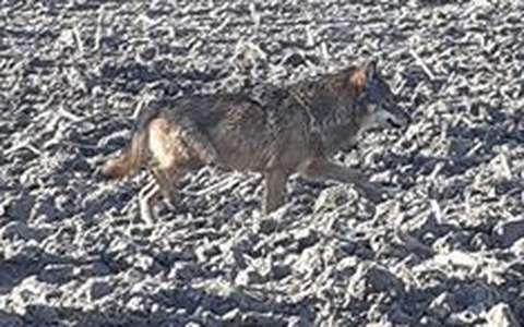 Un loup a été aperçu en Charente, selon un expert (vidéo) – Charente Libre.fr