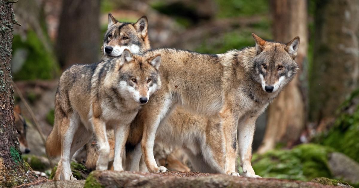 Loup: 97 zones de présence permanente mais des indices moins nombreux