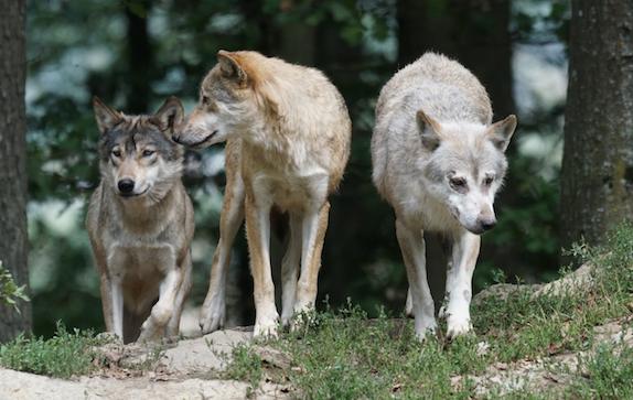 Loup : doublement des financements pour les cœurs de parcs en 2020 (préfet référent) – La Volonté Paysanne