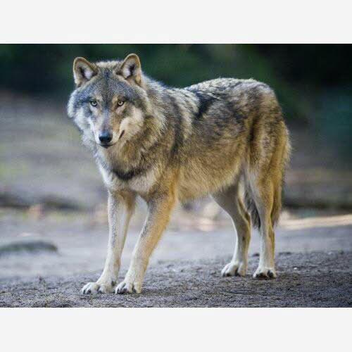 Environnement | Loup : les tirs de défense seront possibles dans la réserve des Contamines-Montjoie