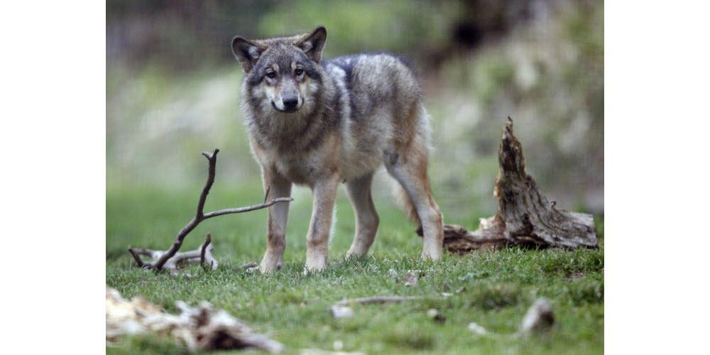Environnement | Un loup abattu à Ubaye-Serre-Ponçon