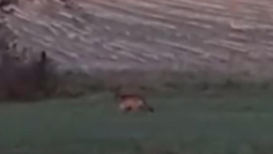 Le confinement amène les loups derrière les habitations de Peer (vidéo)